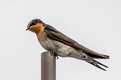Welcome Swallow at Turitea
