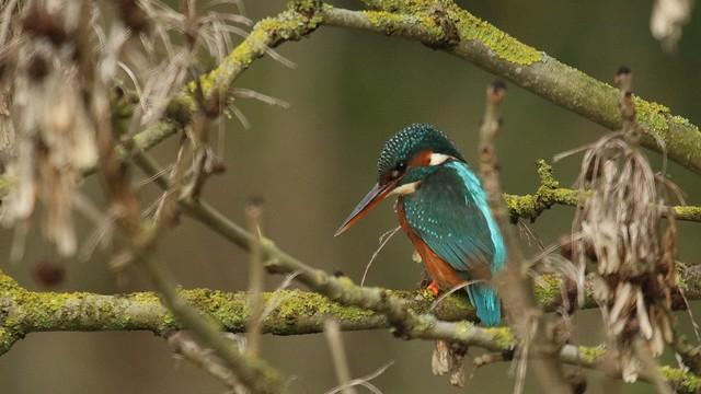 Kingfisher - female, 17122019, 06 f