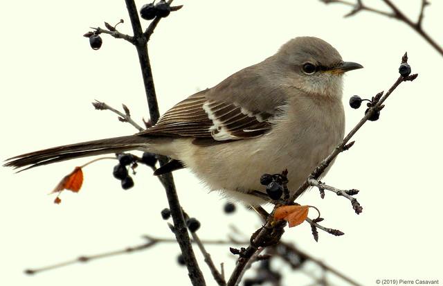 Moqueur polyglotte, Northern Mockingbird.  DSC_1848