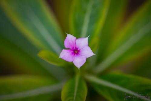 Periwinkle Flower In The  Garden