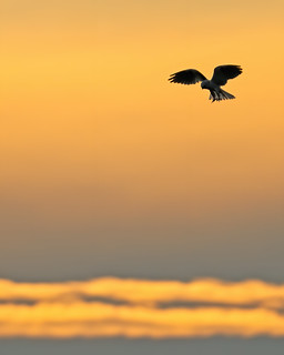 White-tailed Kite at Dusk | by lennycarl08