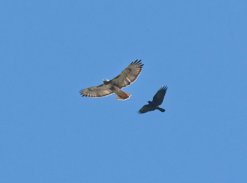 Red-Tailed hawk being chased by a Fish Crow at Crescent Lake in Florida