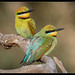 Rainbow Bee-Eater - Photo (c) I Am birdsaspoetry.com , some rights reserved (CC BY-NC-SA)