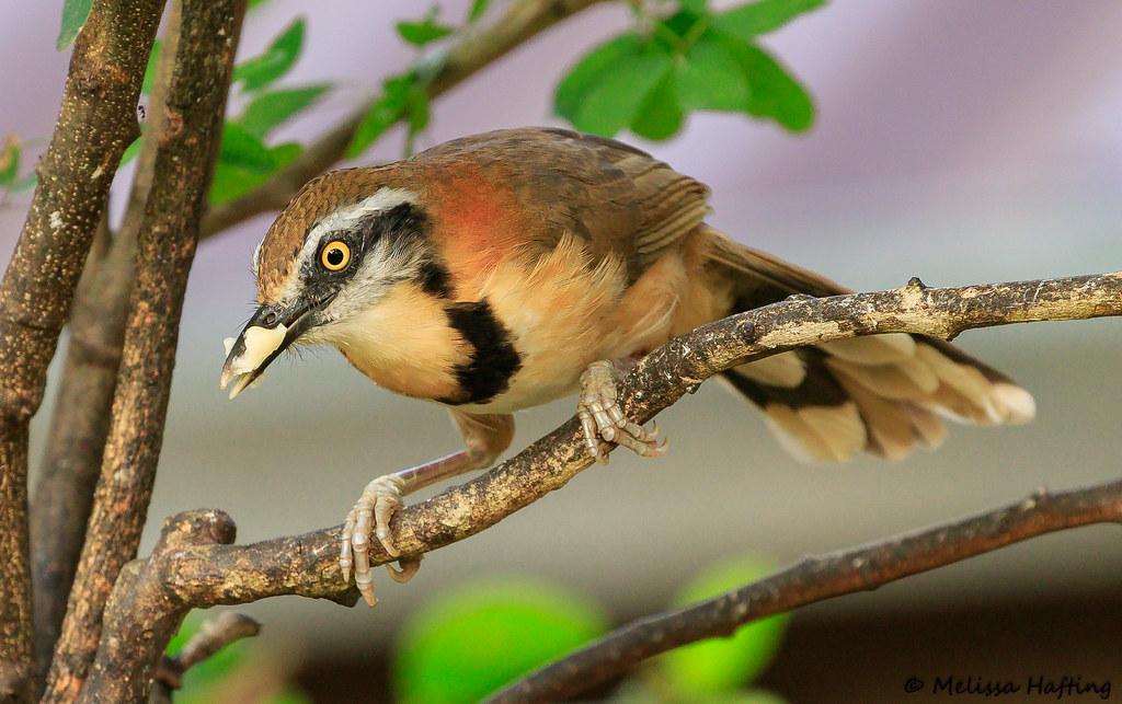 Lesser Necklaced Laughingthrush Garrulax Monileger Kae Flickr