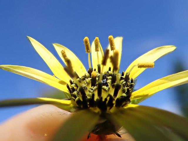 Arctotheca calendula flowerhead NC19