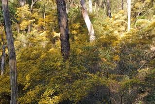 Bush Wattle