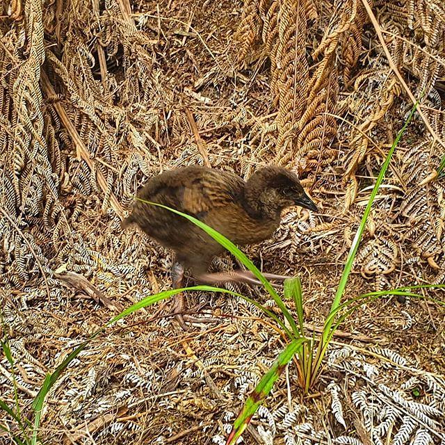 Baby pecking weka #abeltasmannationalpark #decemberadventure #day1 #weckingpekas