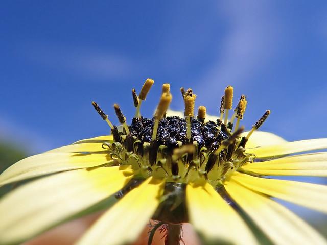Arctotheca calendula flowerhead NC21