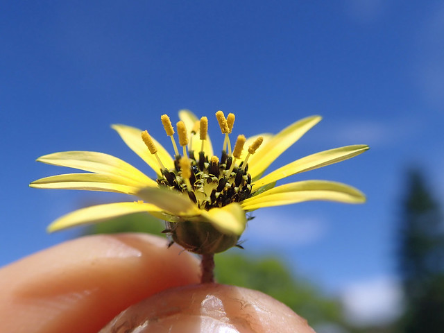 Arctotheca calendula flowerhead NC18