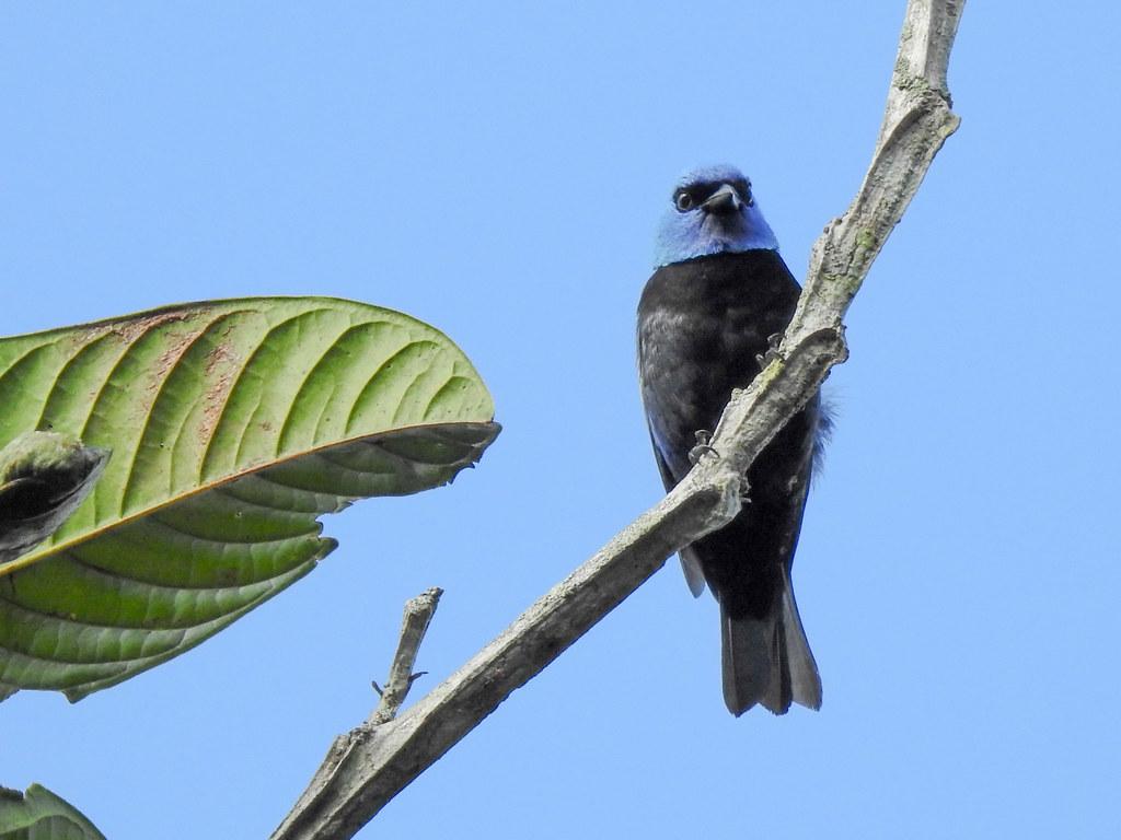 Fauna: blue-necked tanager (Tangara cyanicollis), PermaTree, Ecuador