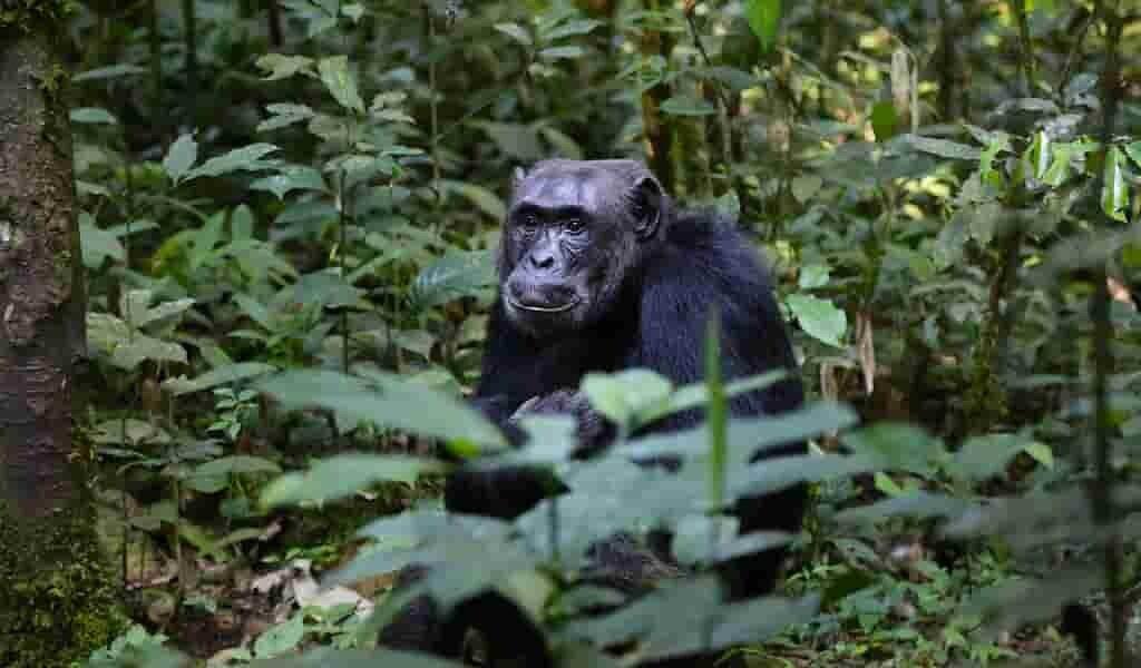 Les chimpanzés créent de la musique rock