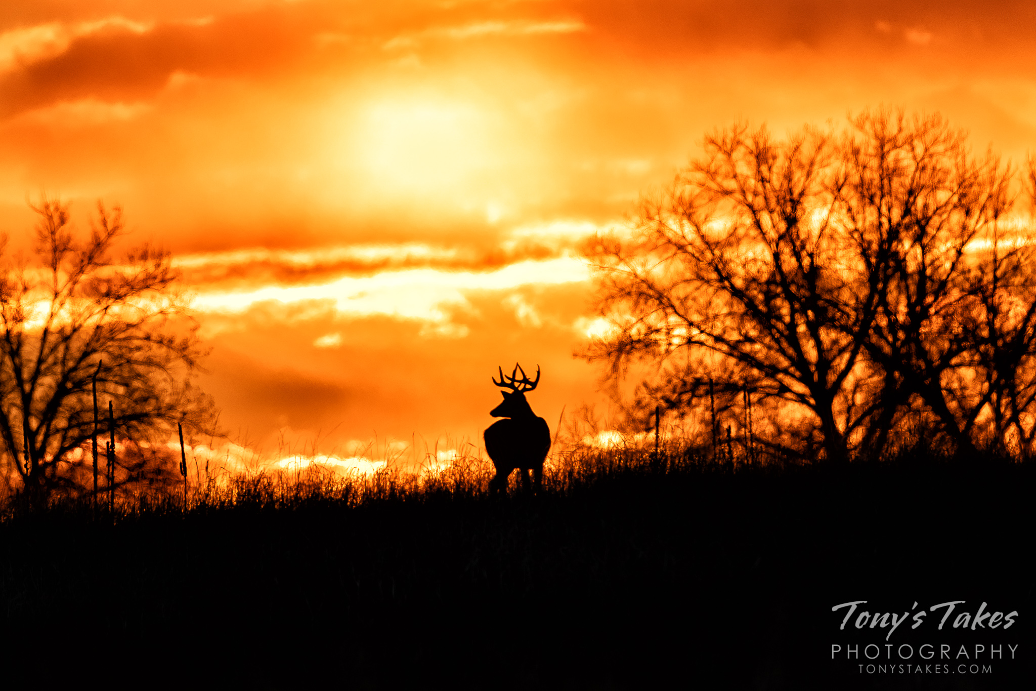A white-tailed deer buck poses in front of a brilliant sunrise on the Colorado plains. (© Tony's Takes)