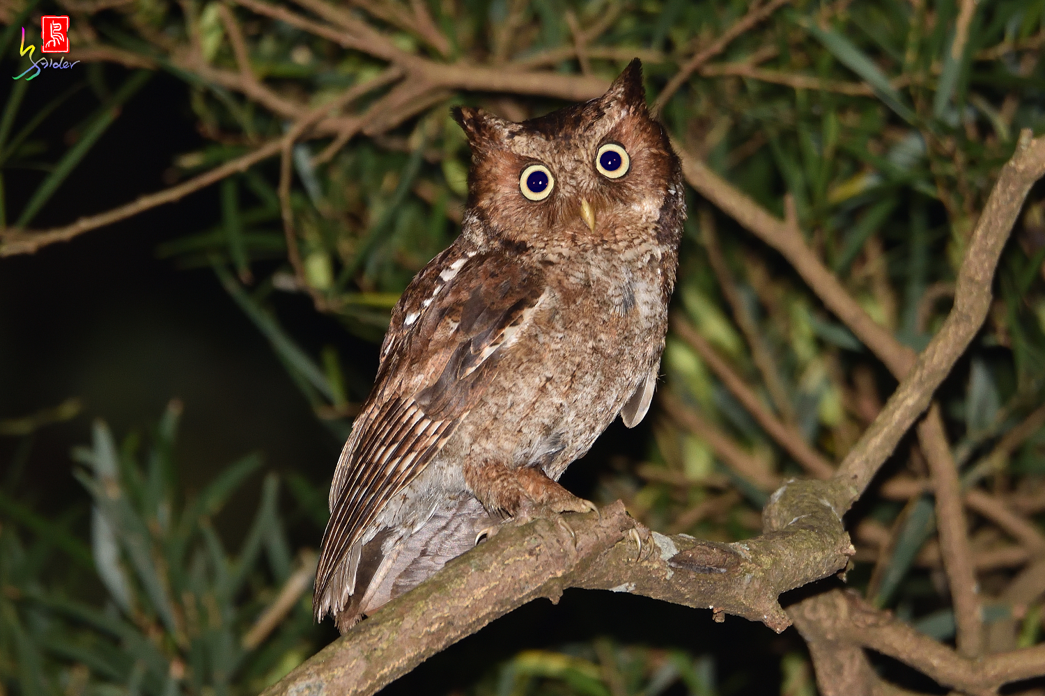 Moutain_Scops_Owl_1462_Redeye