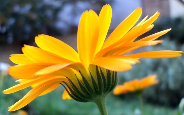 Neven / Pot Marigold (Calendula officinalis)