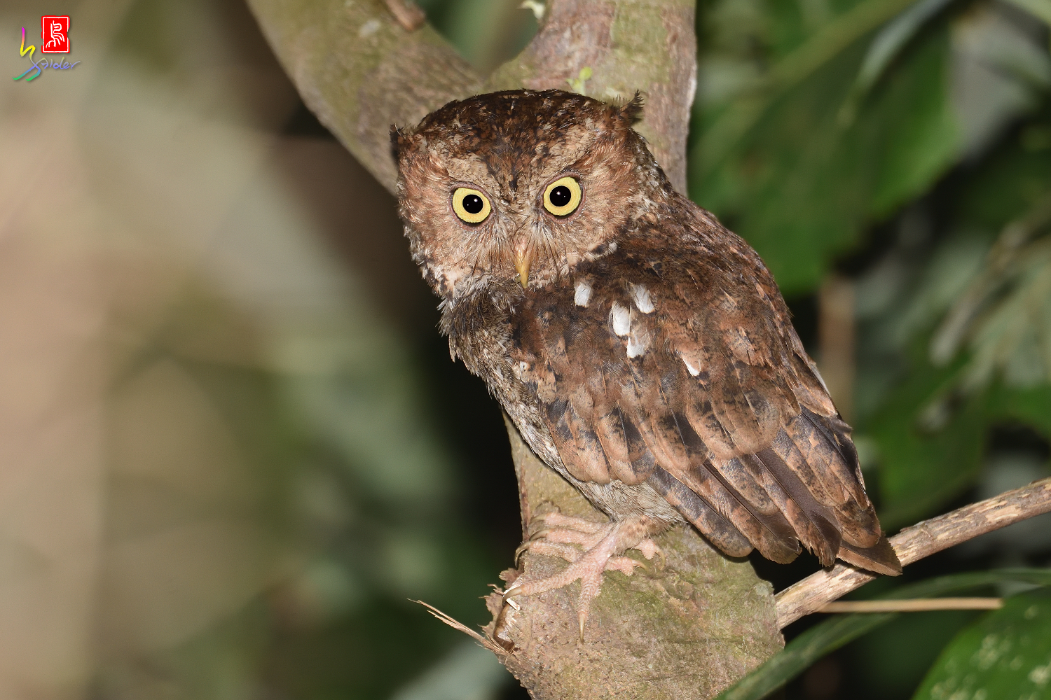 Moutain_Scops_Owl_3167_Redeye