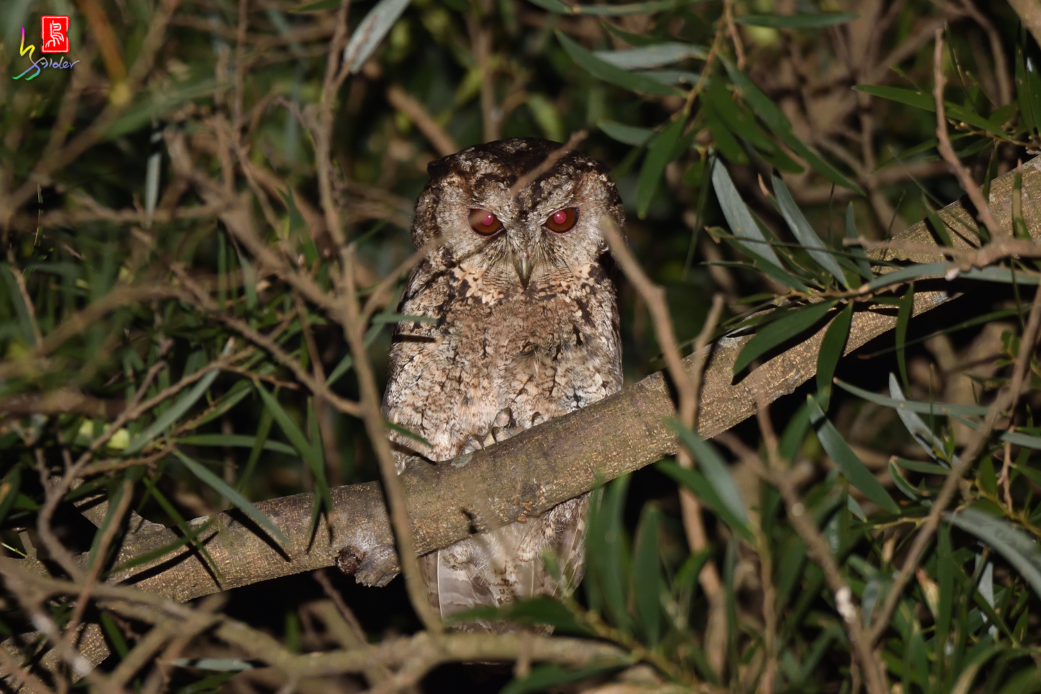 Collared_Scops_Owl_3165