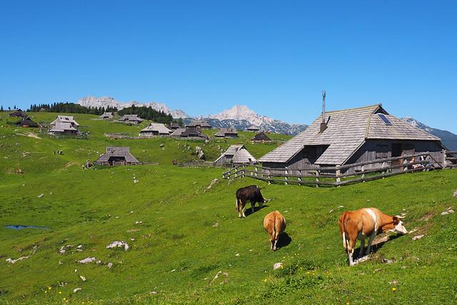 Velika Planina and cows, Slovenia