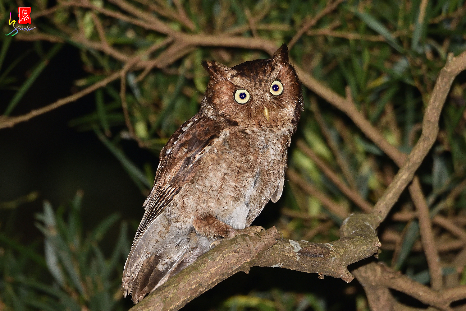 Moutain_Scops_Owl_1468_Redeye