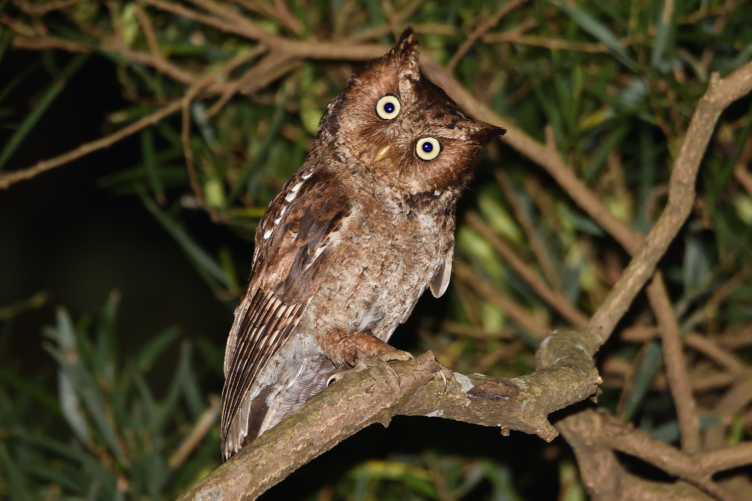 Moutain_Scops_Owl_1467_Redeye