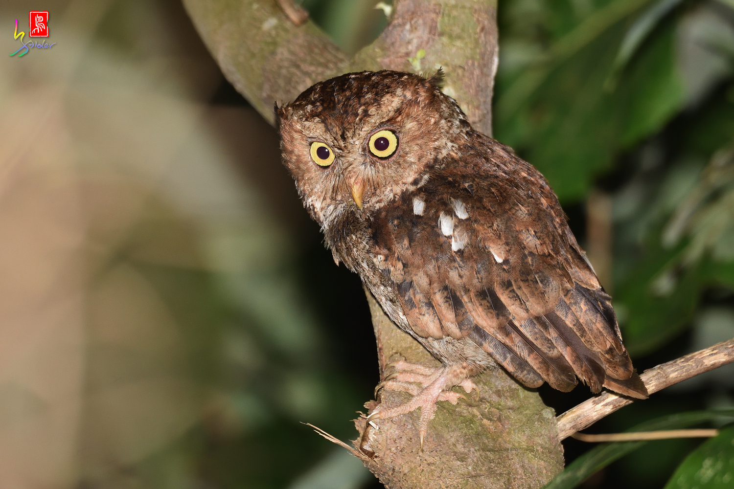 Moutain_Scops_Owl_3166