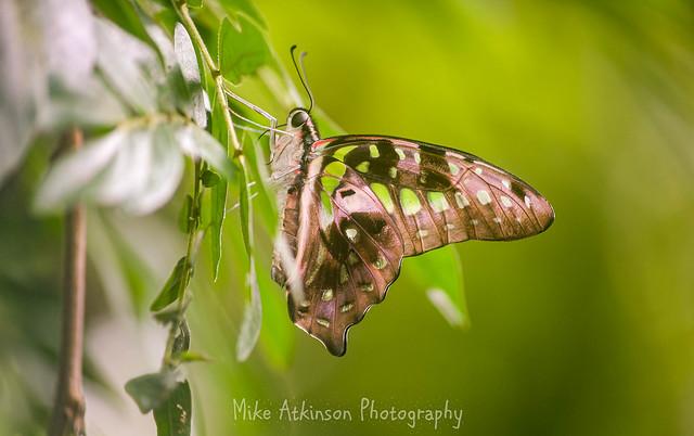 Butterfly (69)