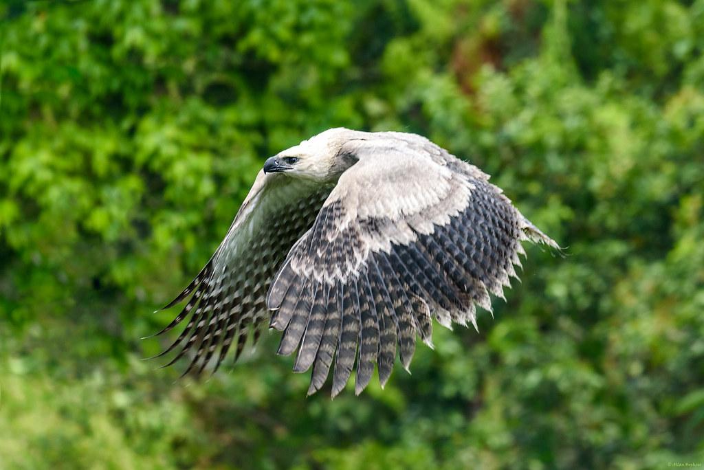 Vogel Harpie