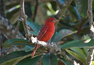 Summer Tanager | by mggoodwin56
