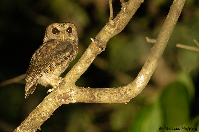 Collared Scops-Owl (Otus lettia) - Kaeng Krachan National Park, TH