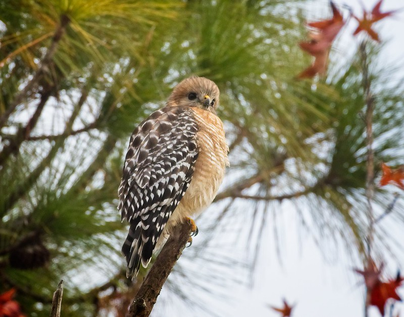 Red-Shouldered Hawk in St Mark's Wildlife Refuge in Florida