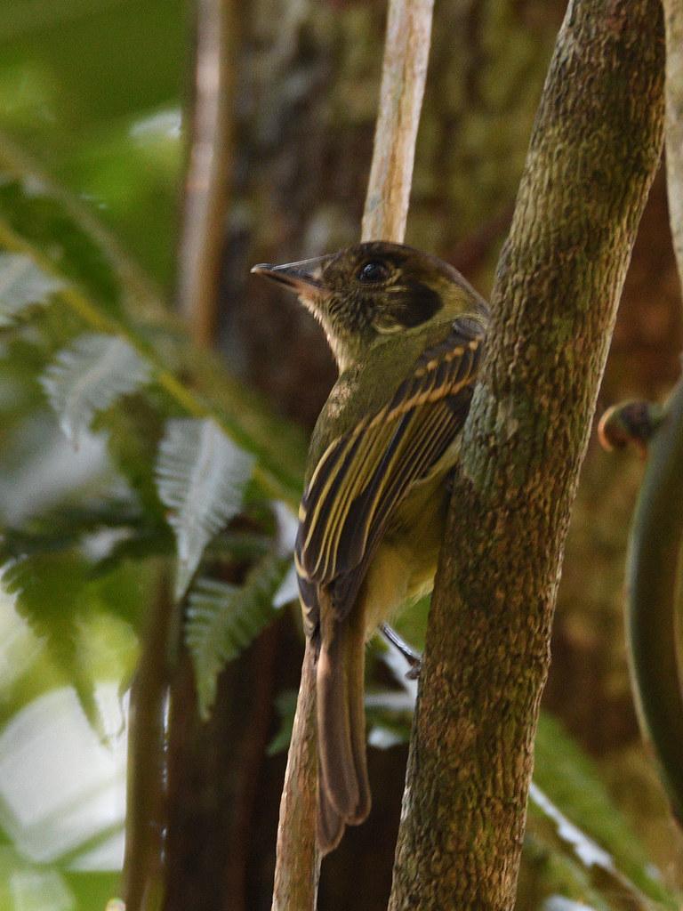 Sepia-capped Flycatcher // Cabeçudo
