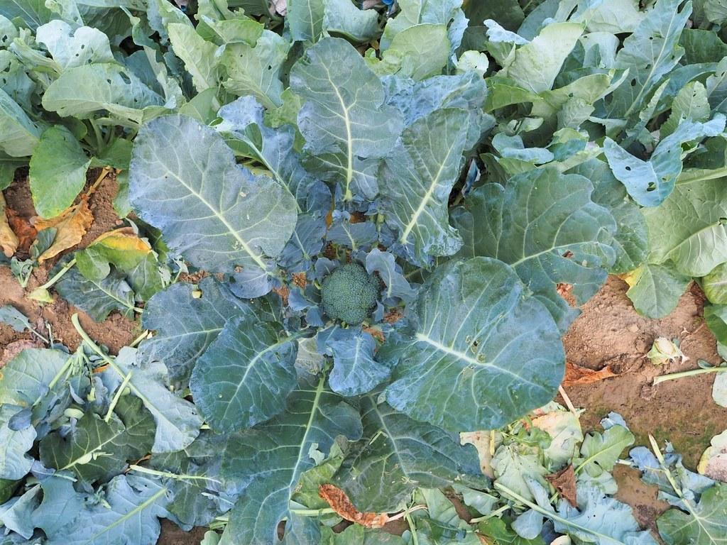 花椰菜 (3)