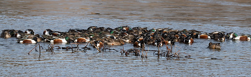 large_group_of_ducks-20191218-102