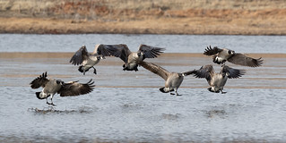 canada_geese-20191218-107 | by Dagny Gromer