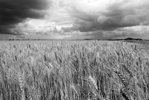 Harvesting_Crop in_Ethiopa_byBerihuMekonen