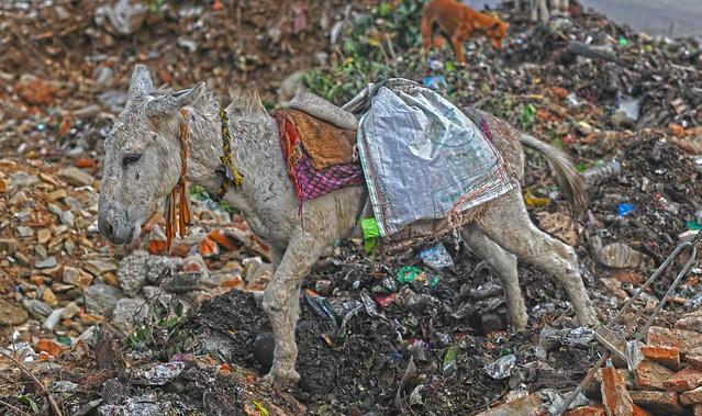 Garbage Ponies Udaipur DSC_7433