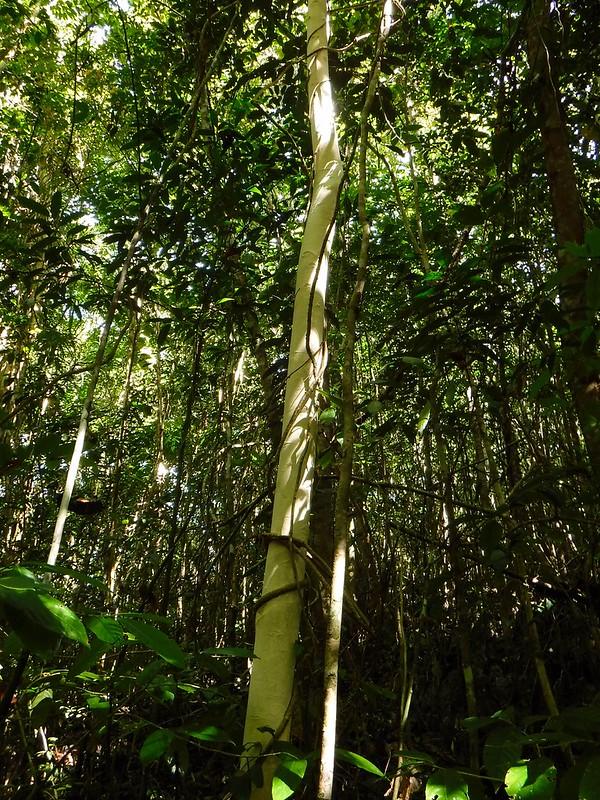 Albino tree