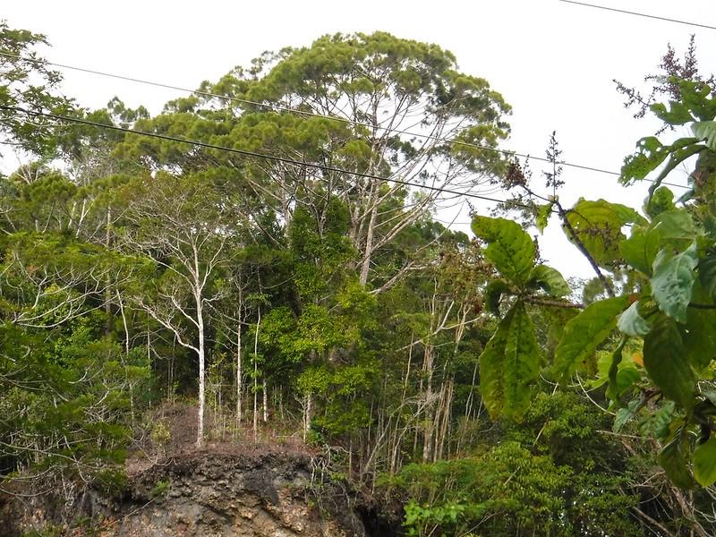 Gmelina Trees