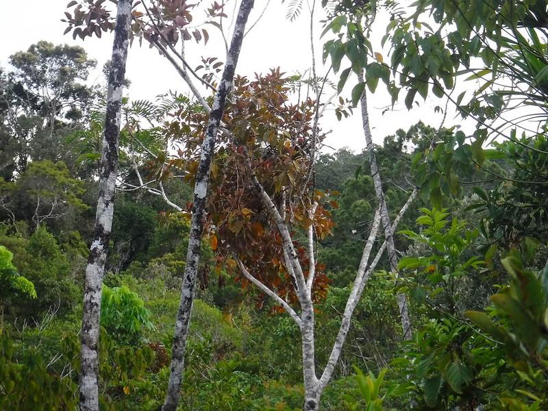 Cebu mistletoe