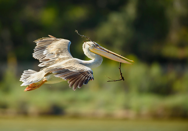 Pelican ships in some robust nesting material ...................+