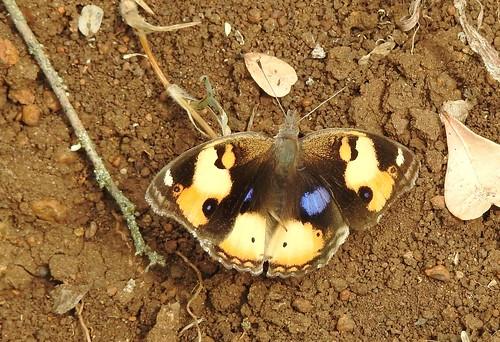 insect butterfly schmetterling farfalla borboleta papillon vlinder inthewild aberdare kenya ke africa trailside hiking yellowpansy lifer yellow blue brown junoniahierta grasslands scrublands p900 coolpixp900 nikoncoolpixp900 jennypansing africansafari