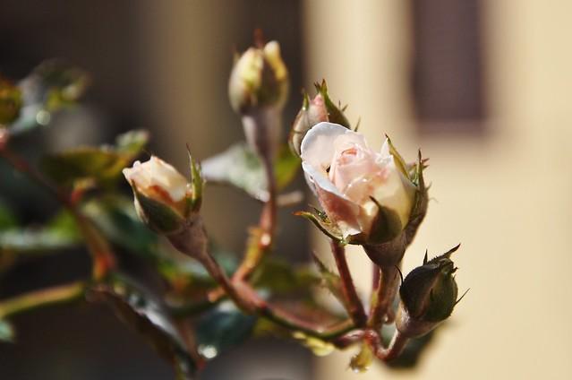 Uma rosa prá vc!