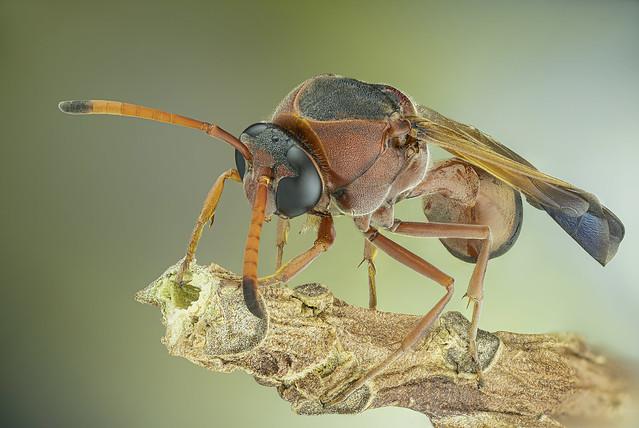 Delta dimidiatipenne. Eumenidae