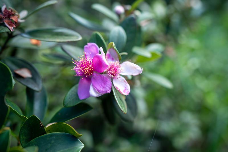 香港ドラゴンズバック ハイキングの花
