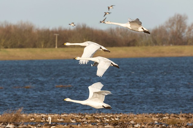 Whoopers and Wigeon