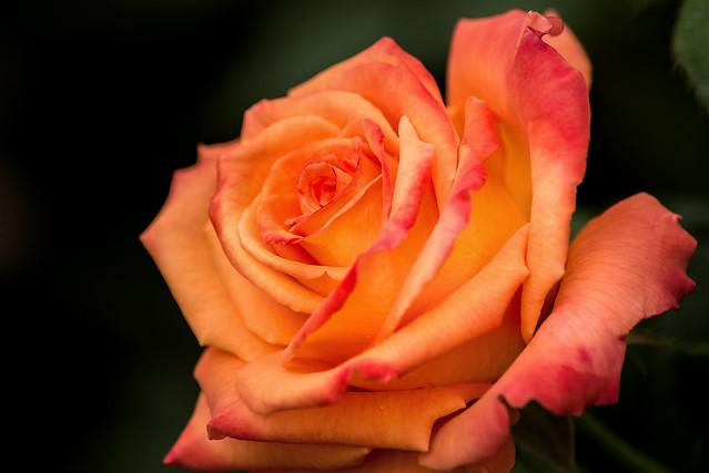 Orange Rose 3-0 F LR 10-12-19 J431