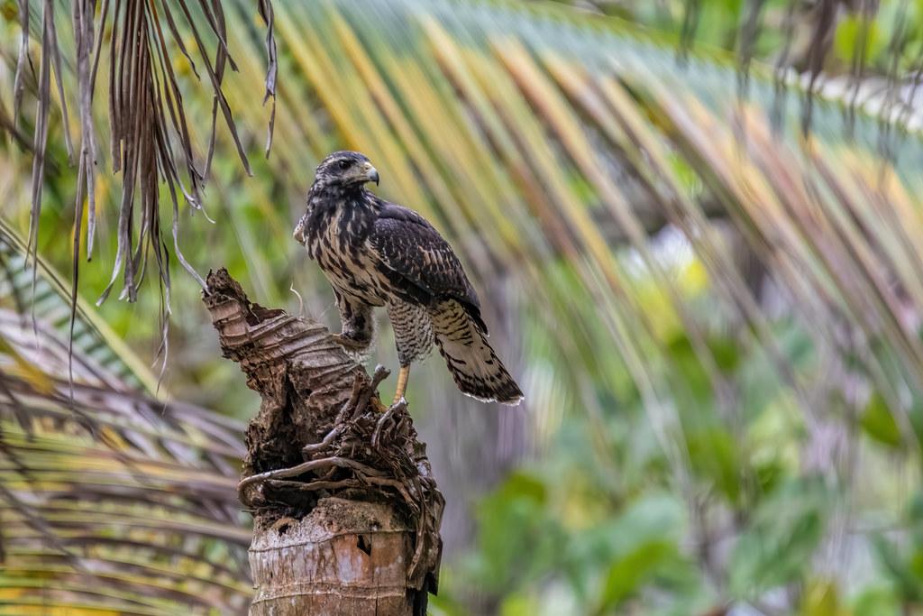 Great black hawk / Buteogallus urubitinga