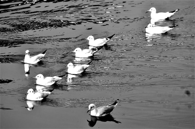Gul (1) Swimming