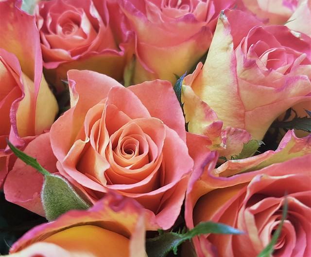 Bi-Colour Roses - Newbiggin-By-The-Sea