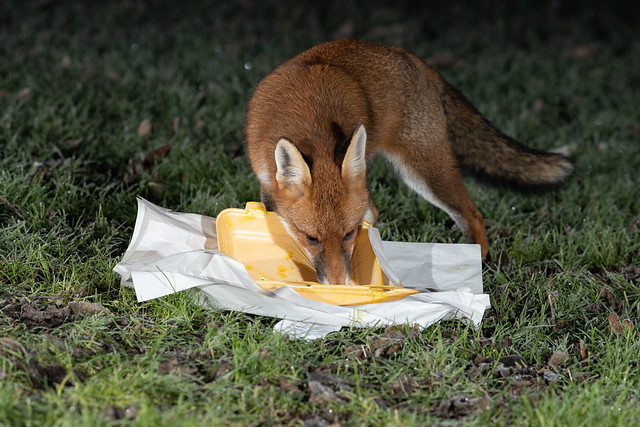 Calories are vital in the cold, this fox didn't want to miss out