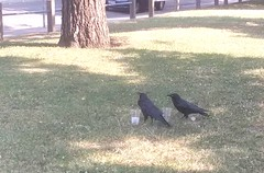 I gave the thirsty ravens in Royal Park some water. It was 40*C today.
